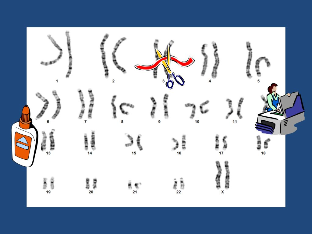 The goal of this diagram is to illustrate that also any chromosome conformation or rearrangement can actually occur. The main part of the diagram includes an image of black and white banded human female chromosomes taken using a light microscope and arranged in pairs form largest to smallest. To illustrate that all possible rearrangements, deletions and duplications can theoretically occur there are three small clip-art pictures on top of the picture of chromosomes. These include a bottle of paper glue to the left, scissors cutting a ribbon in the upper center, and a person using a copy machine on the right.